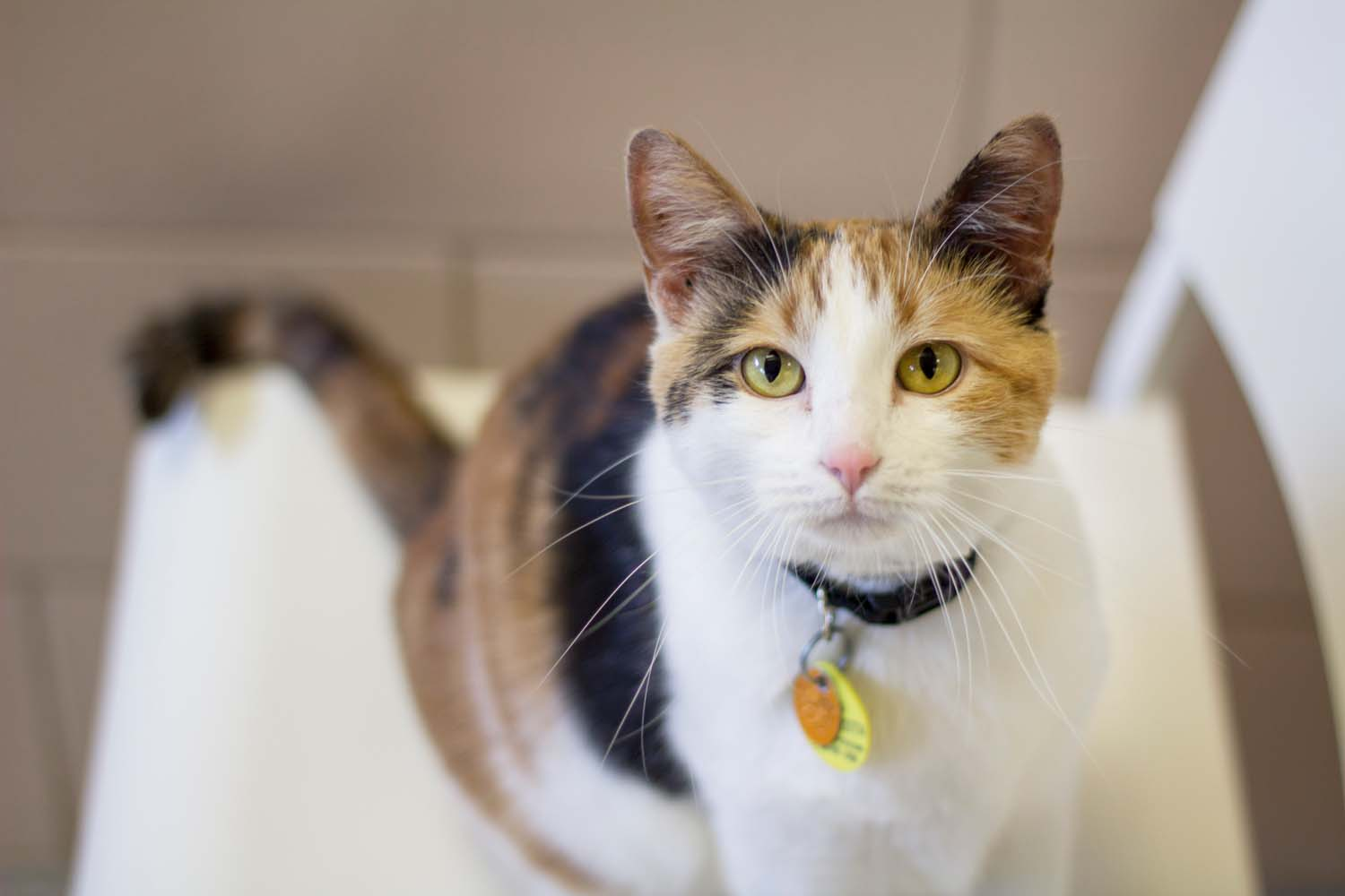 Cat wearing collar and tags