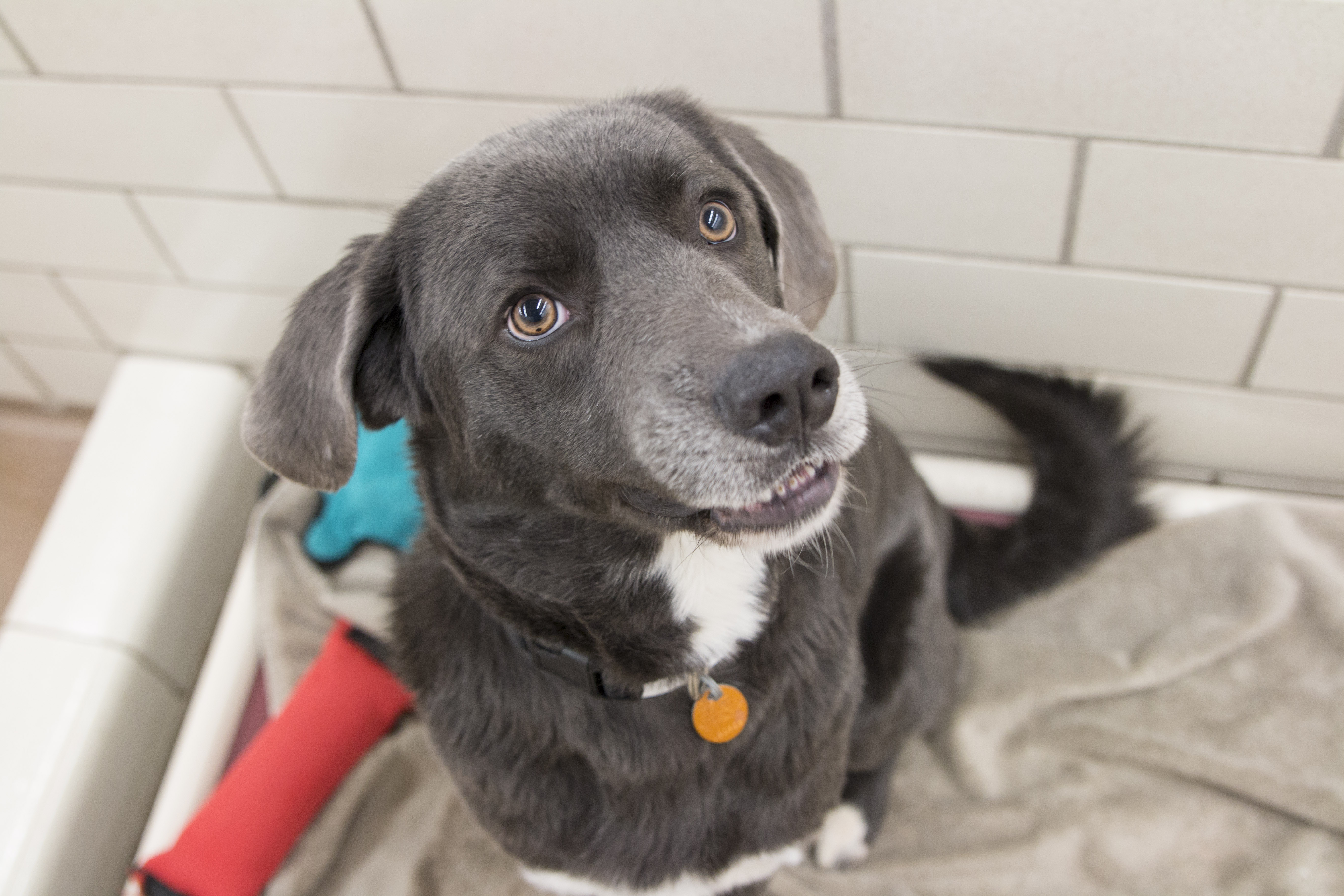 Roo is a 3-year-old Labrador Retriever mix