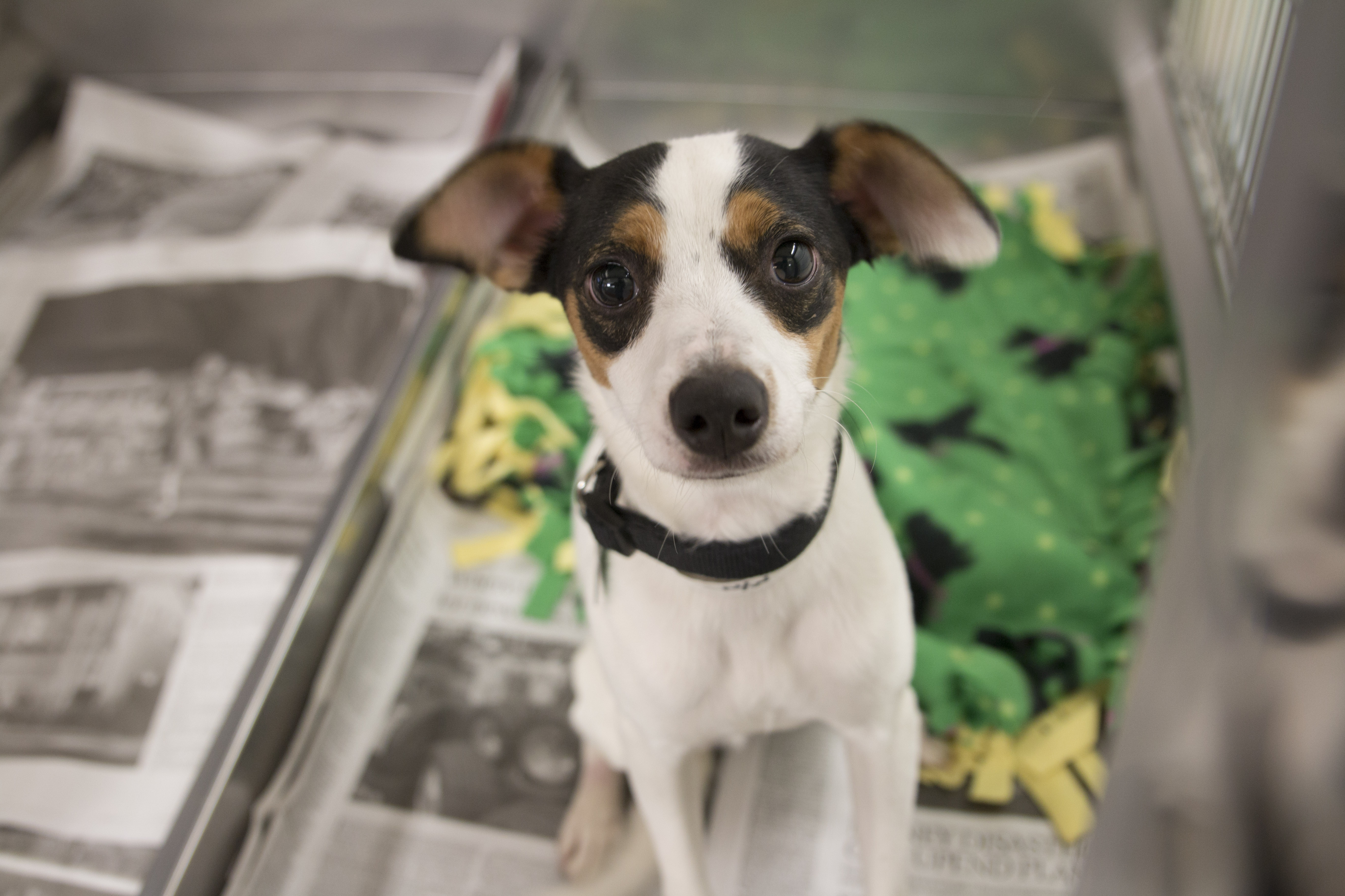 Rocket is a 1-year-old Rat Terrier mix