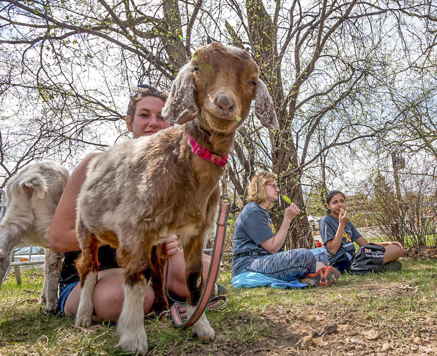 Goat at Walk for Animals