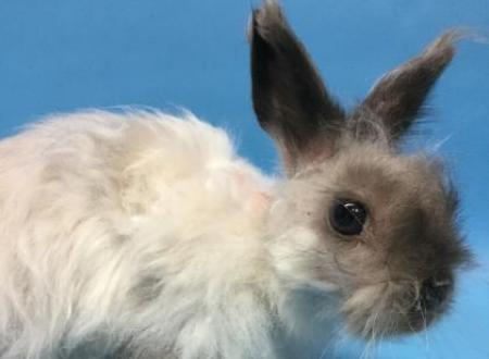 Belle Female Jersey Wooly Rabbit Animal Humane Society