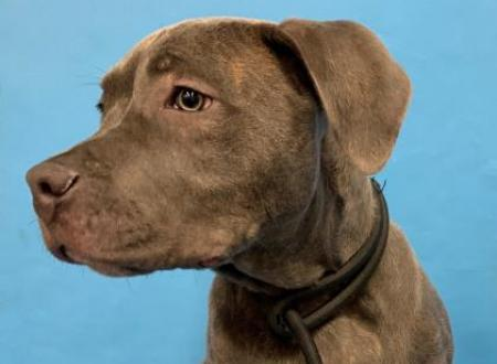 43357220 Male Terrier American Pit Bull Mix Animal Humane Society