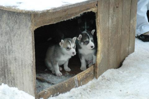 Puppies in outdoor shelter, winter