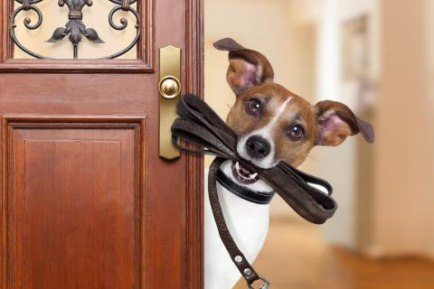 Jack Russell with leash in mouth at the door