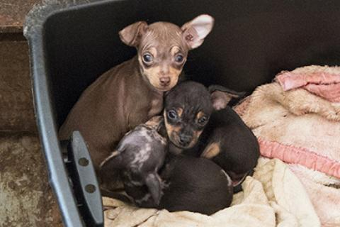 Small puppies in box rescued from hoarding situation