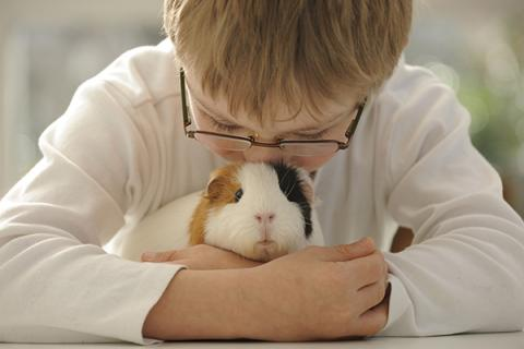 Young child showing affection to pet guinea pig