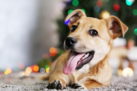 Dog with tongue out in front of holiday tree