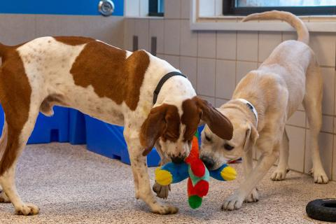 Two dogs playing in Animal Humane Society's dog habitat