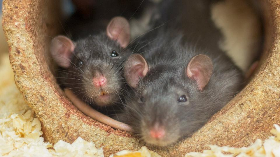 Two rats snuggling