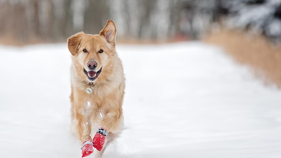 Dog in snow boots
