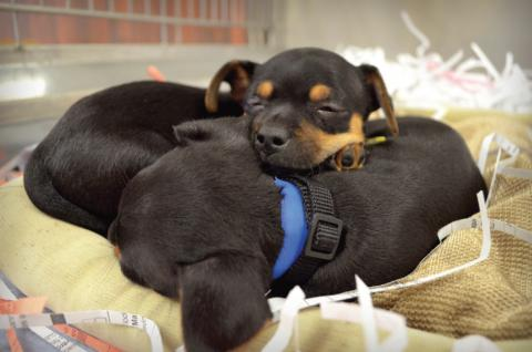 two puppies sleep curled up to eachother