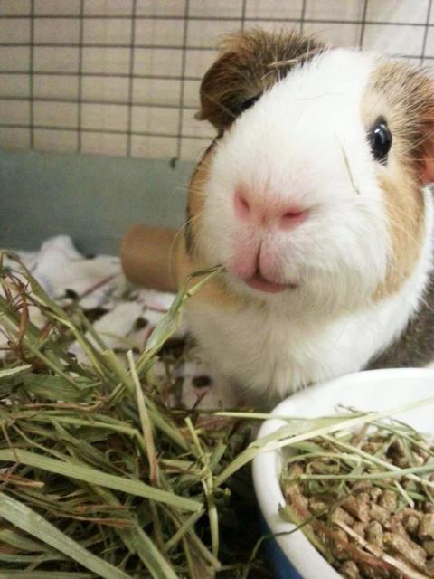 Guinea pig and food pellets