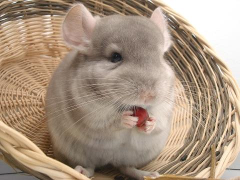 Chinchilla eating a red berry