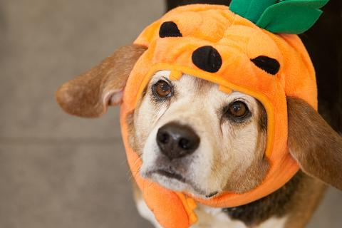 Make sure your dog is comfortable with their Halloween costume