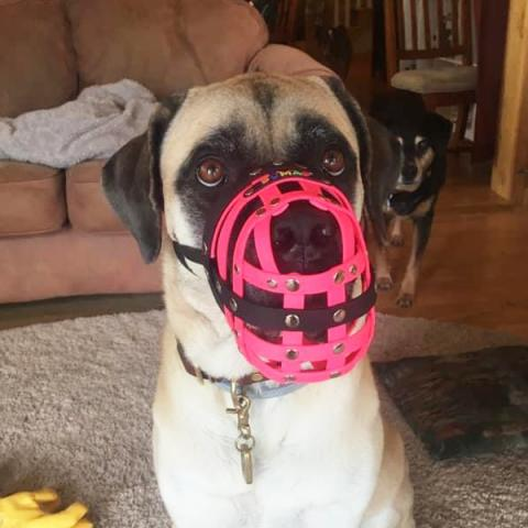 Mirabelle with a muzzle