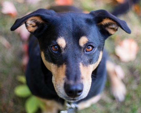 Black and brown dog with soulful eyes