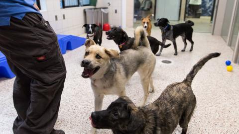 Five dogs playing in AHS dog habitat