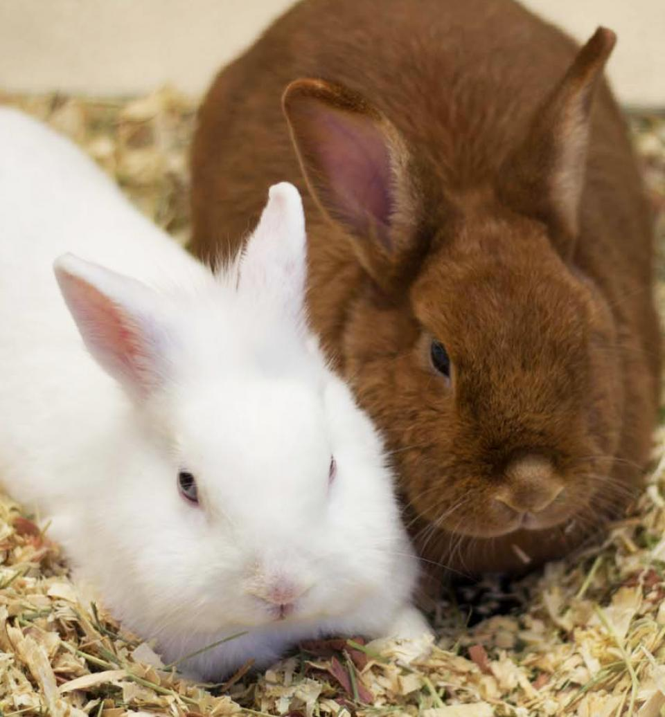 White rabbit sitting next to brown rabbit