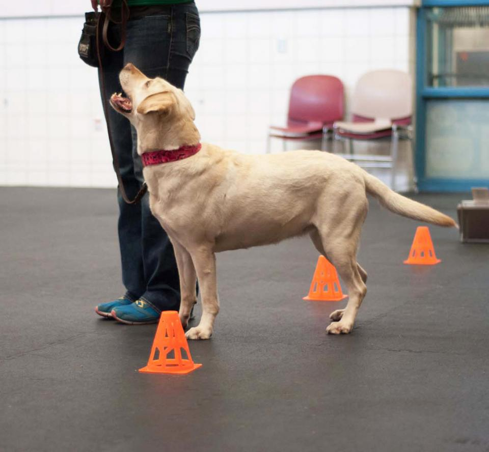 A yellow lab attends a training class at AHS
