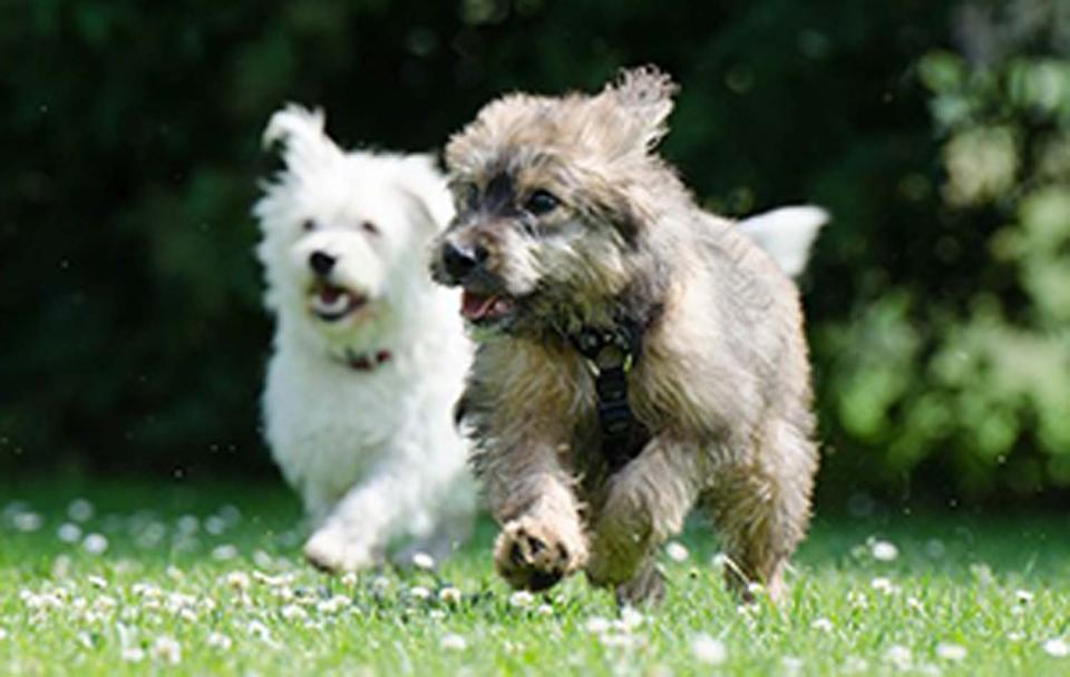 two small dogs running through a field of dandelions on a sunny day