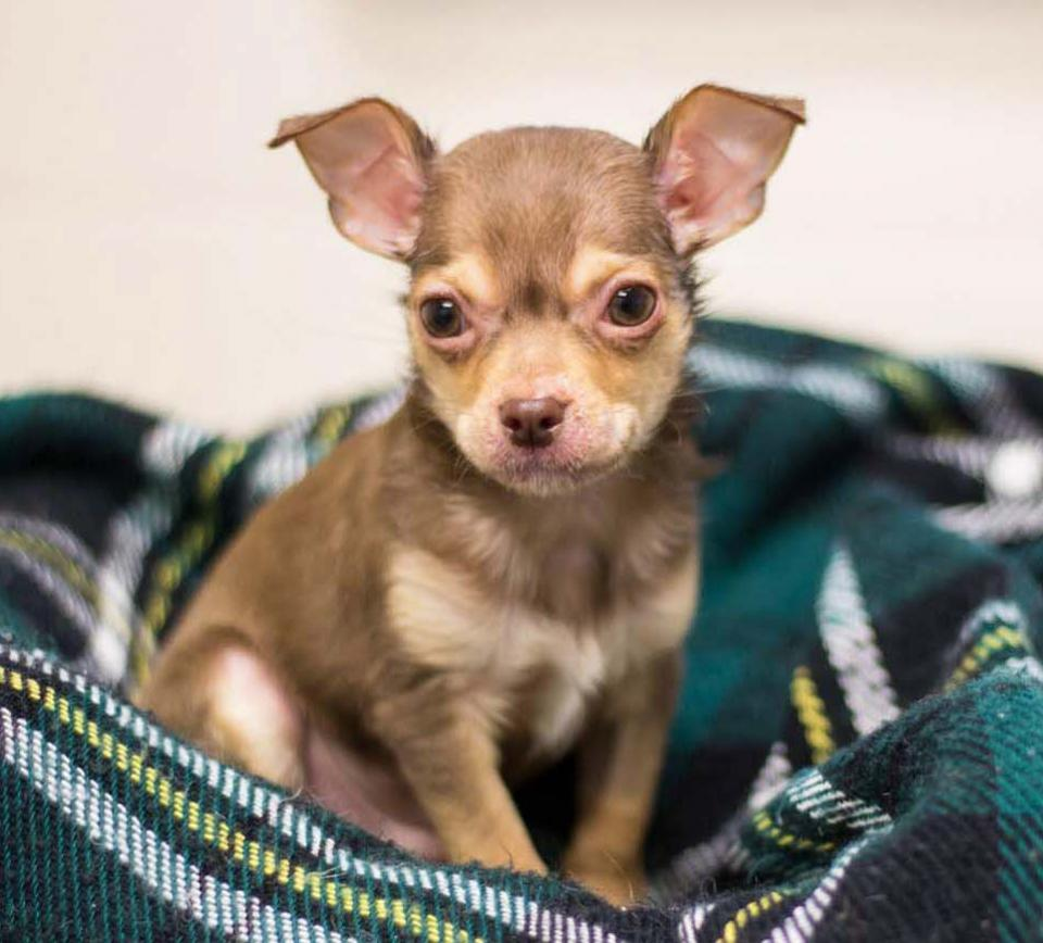 Chihuahua puppy sitting on a plaid blanket