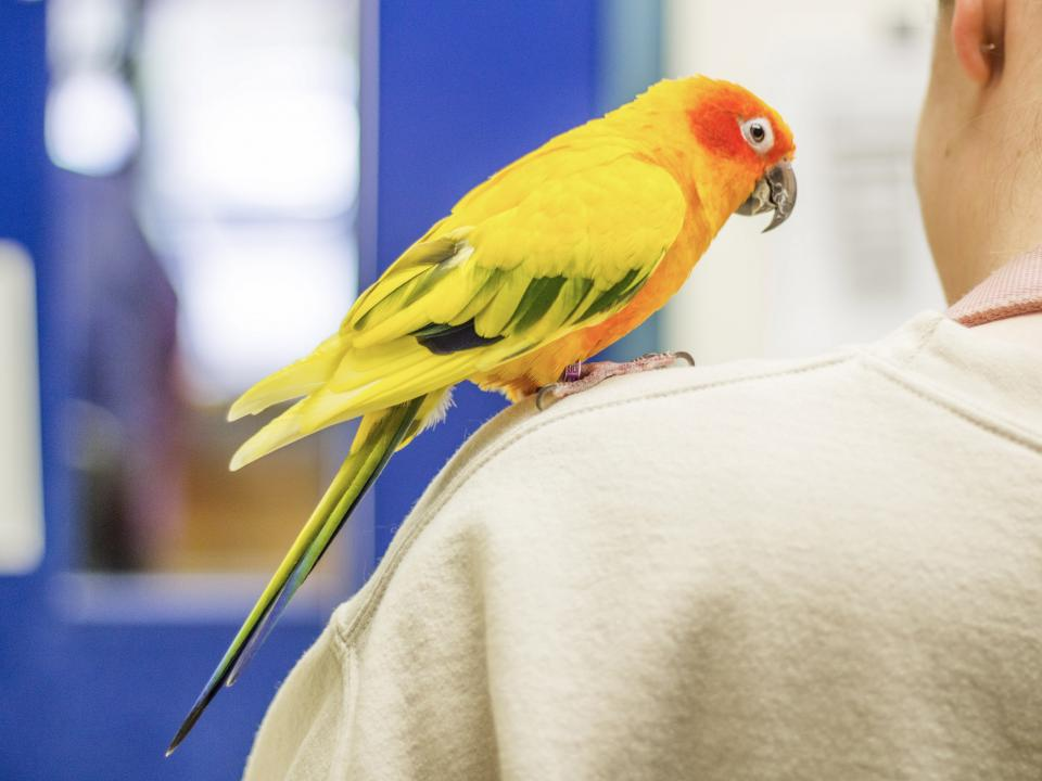 Conure sitting on person's shoulder