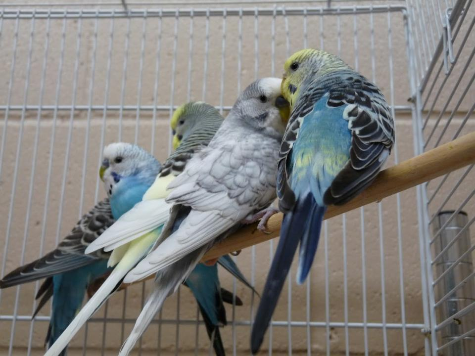 Four parakeets sitting on perch