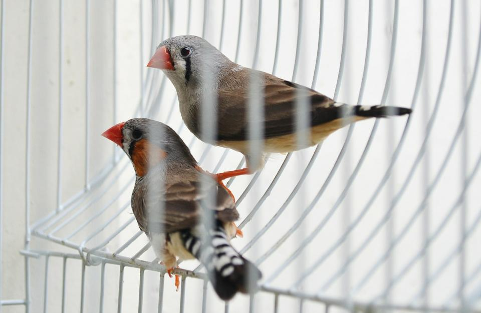 Finches in cage