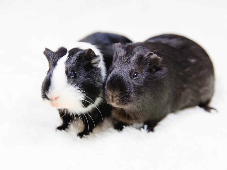 Two guinea pigs sitting shoulder to shoulder