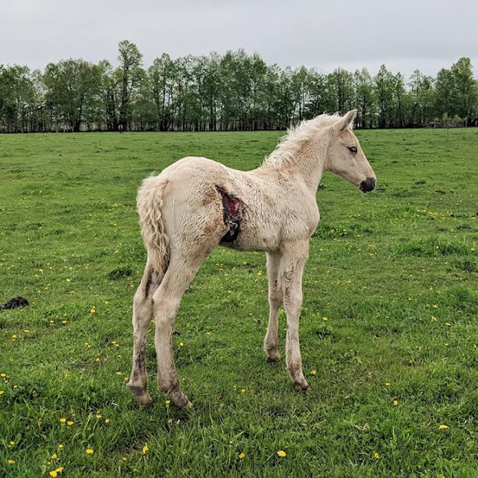 White foal with injury