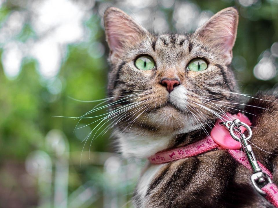 Tabby with pink leash