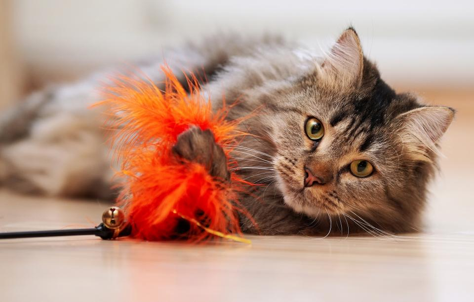 Long haired adult cat playing with feather toy